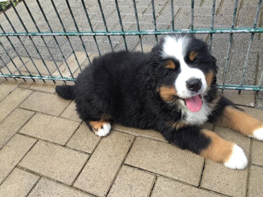 Beliebt Bevorzugt Bernersennenenhunde-Schmidt - Bernersennenhundezucht @RG_74